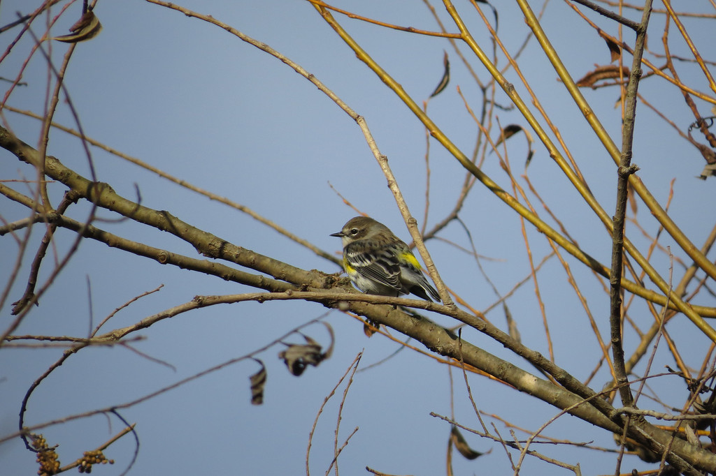 November 19 2013   Yellow-rumped warbler