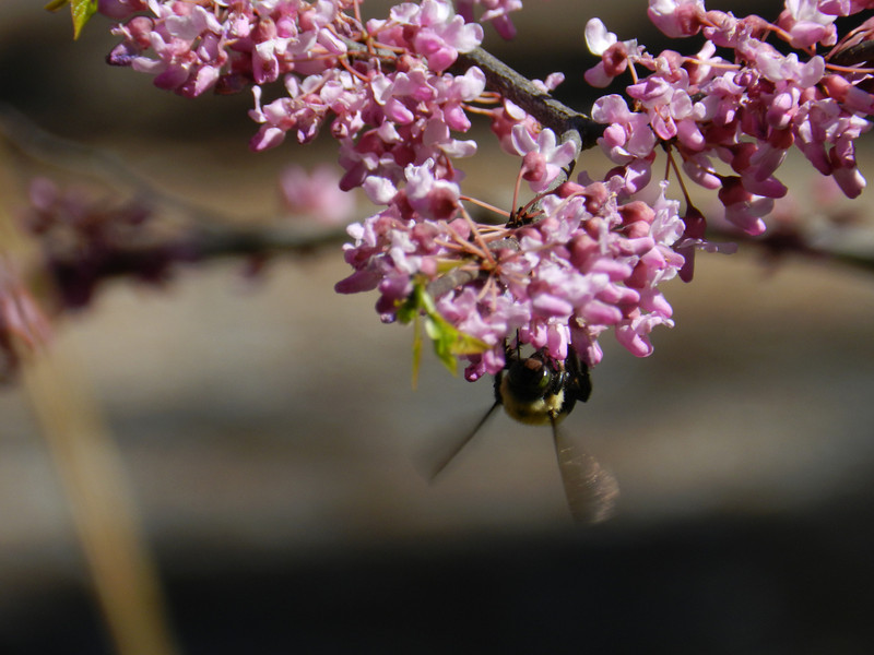 April 7 2011   Bee pollinating redbud