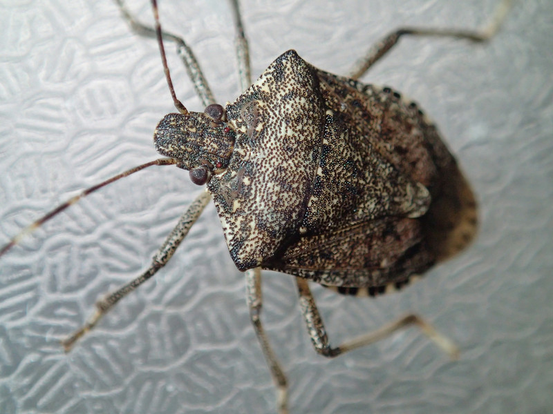 February 25 2014  Stink bug pondering attack