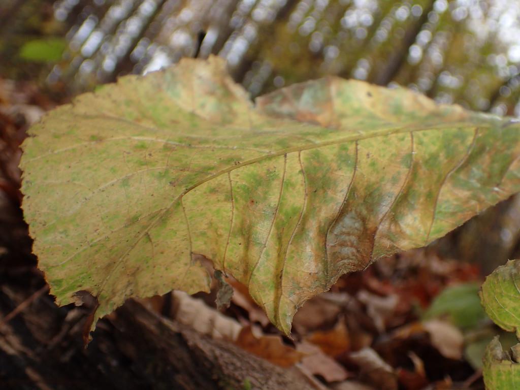 November 5 2014   Fading leaf
