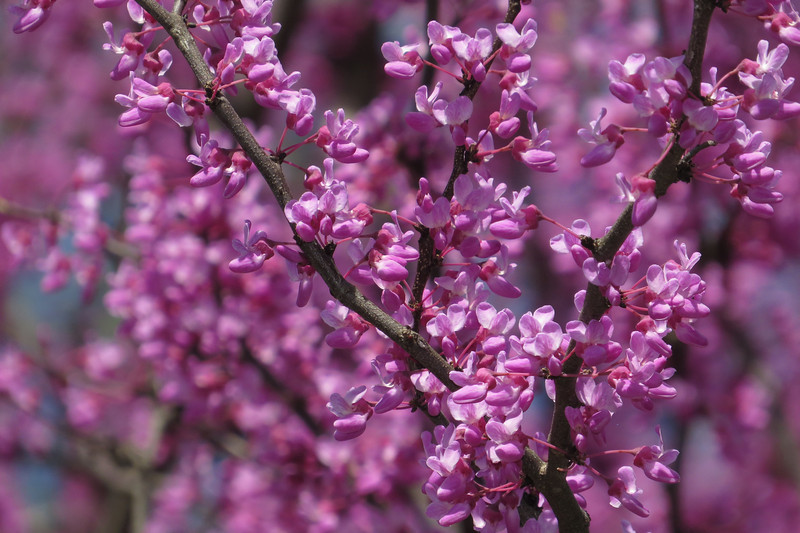April 13 2014  Redbud blossoms