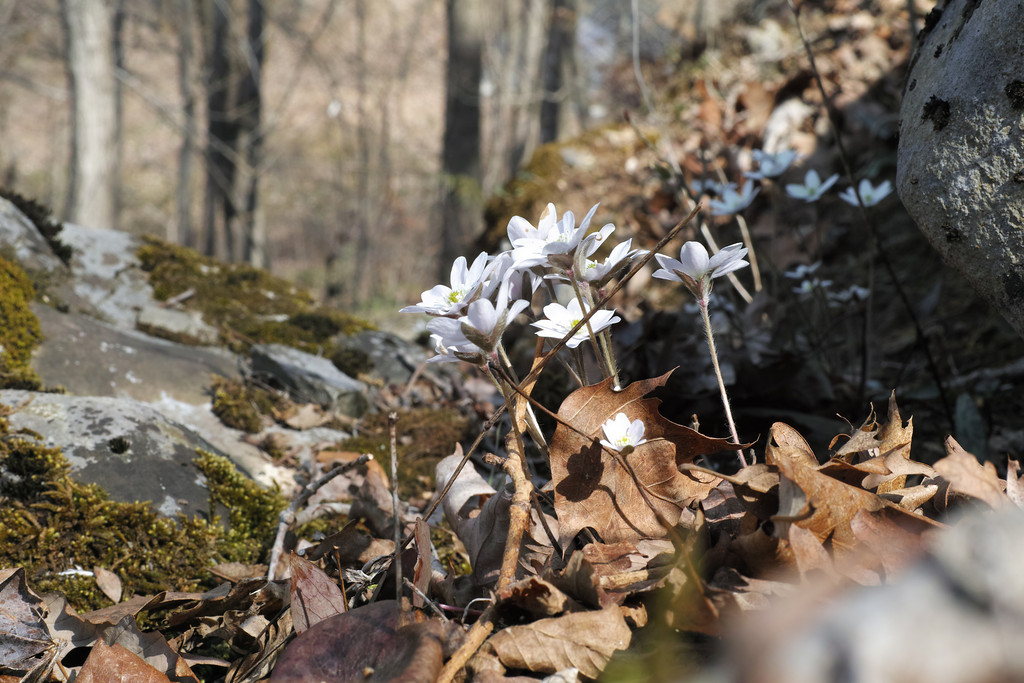 April 2 2014  Hepatica on rocky slope