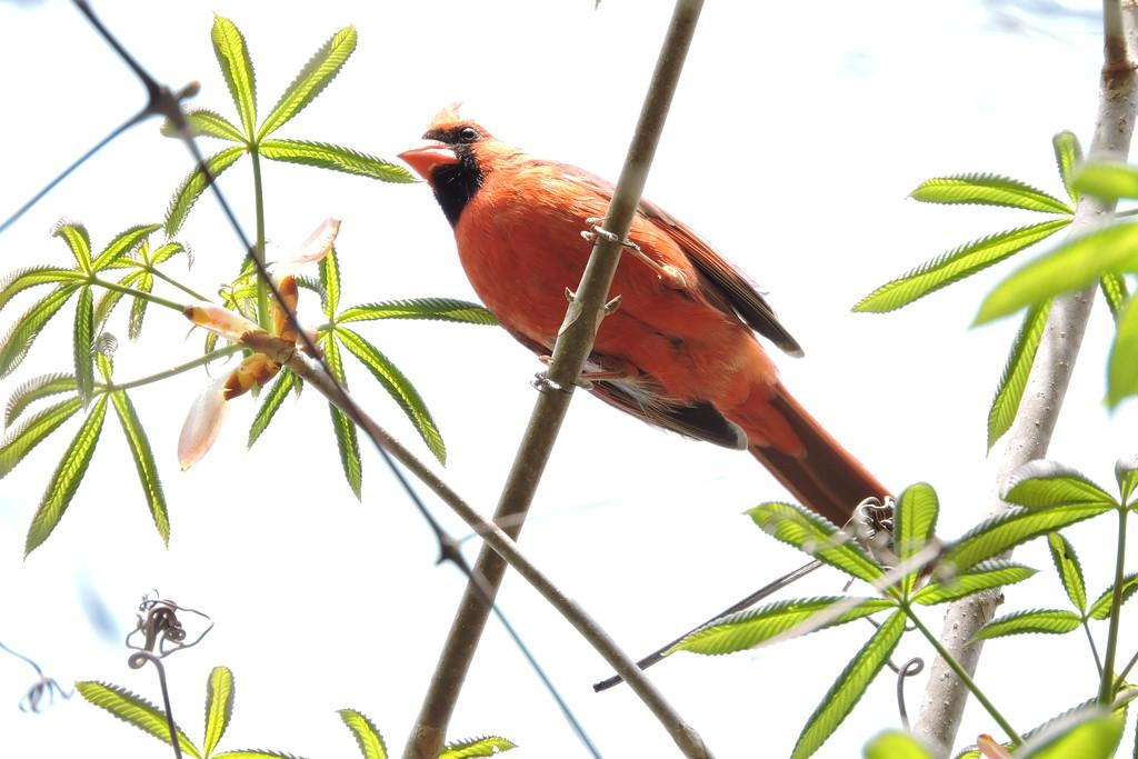 April 2 2015  Cardinal peering from unfolding buckeye leaves