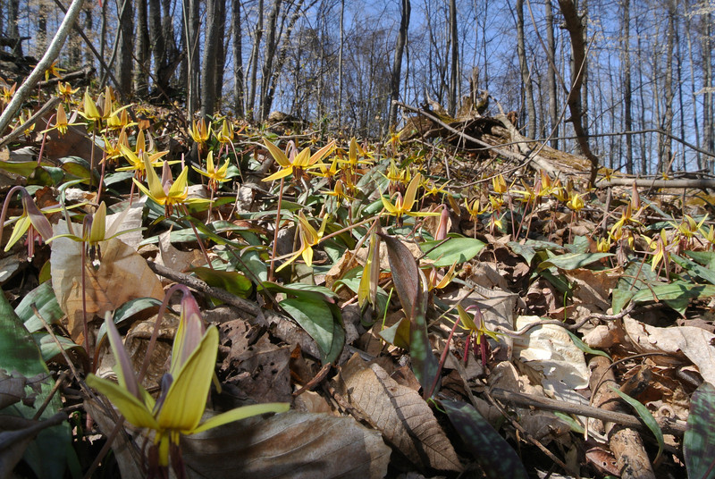 March 19 2013  Hillside of Trout Lilies