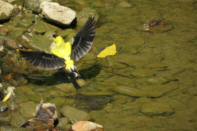 September 2 2014  Goldfinch at the creek