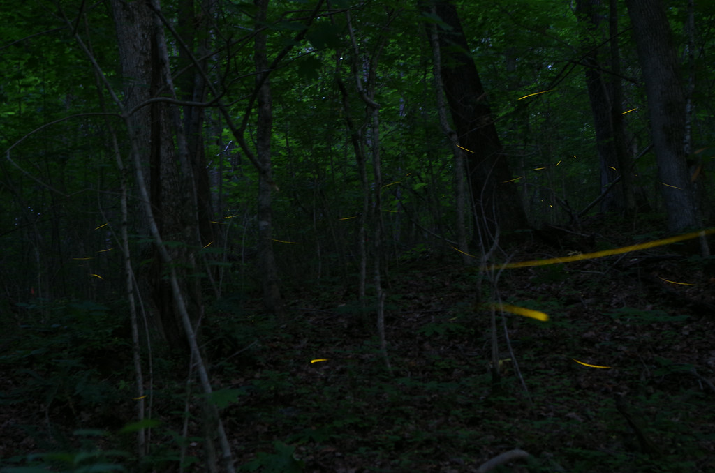 July 7 2014  Fireflies in the forest