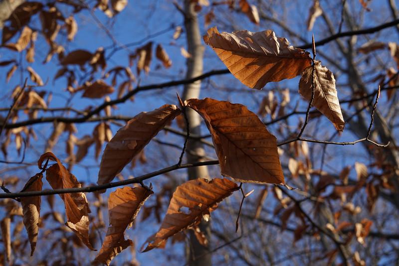 December 13 2014  Sunset on beech leaves