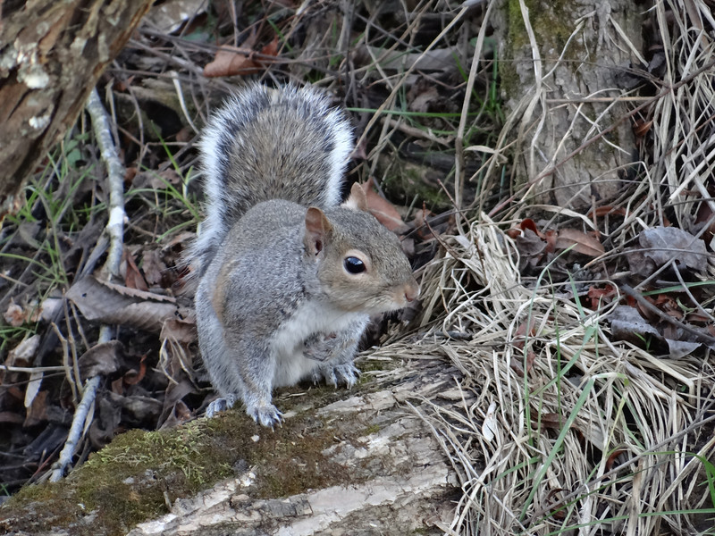 January 8 2013   Squirrel Stroll