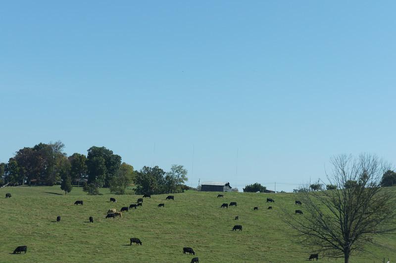 October 12 2012    Placid Cows