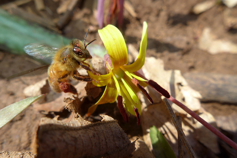 March 28 2013  Busy as a Bee on a Trout Lily