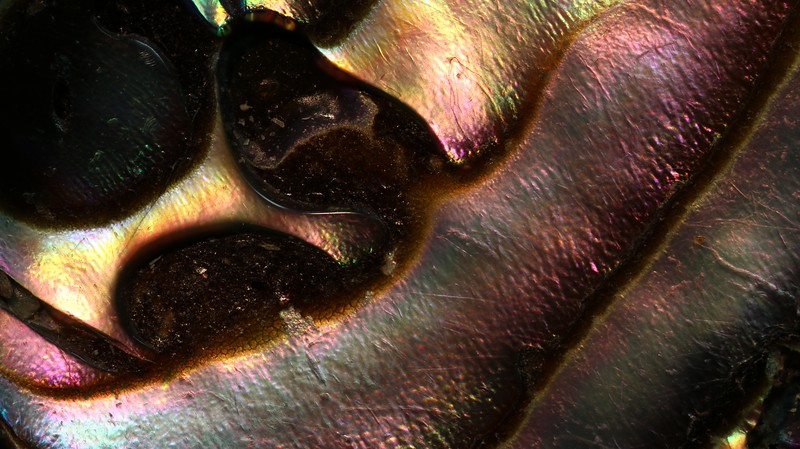 February 4 2015  Iridescent abalone shell