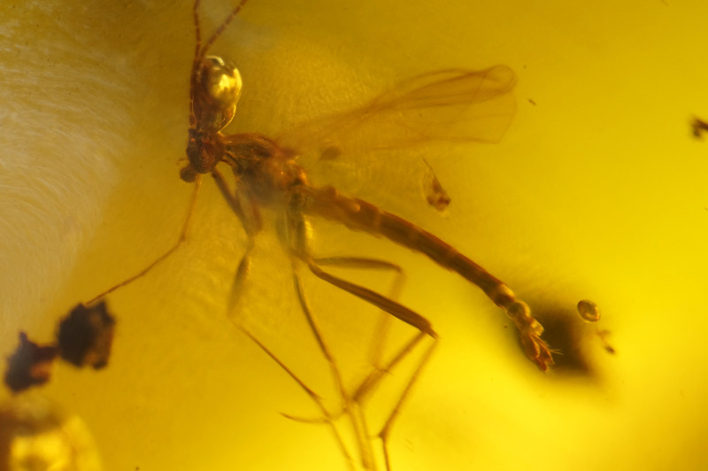 November 22 2013   Fungus gnat from Dominican Republic amber