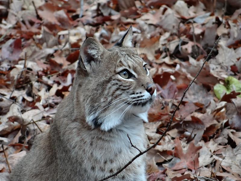 December 8 2012   Pensive Bobcat