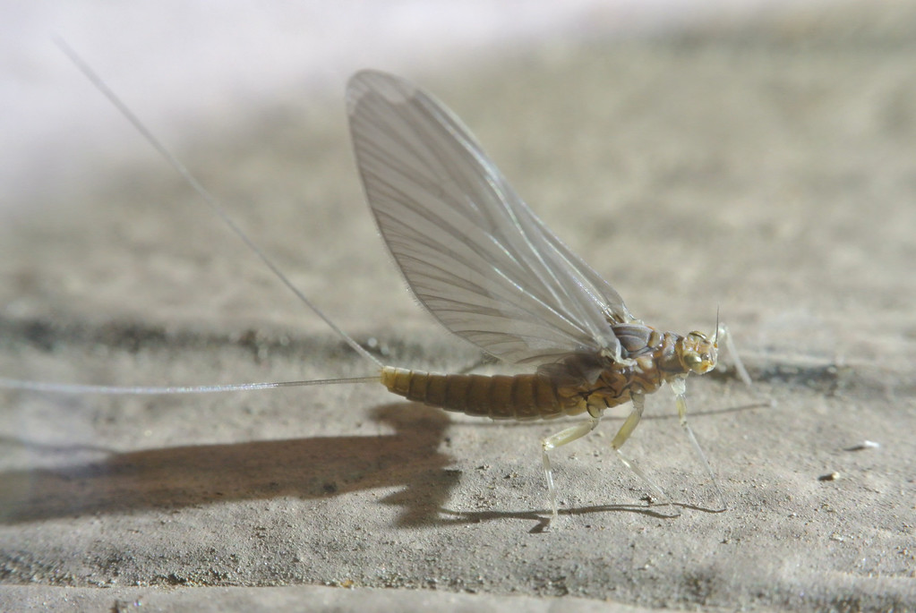 February 19 2014  Mayfly in February- Februaryfly?