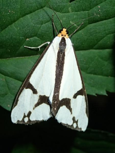June 29 2014   Haploa moth