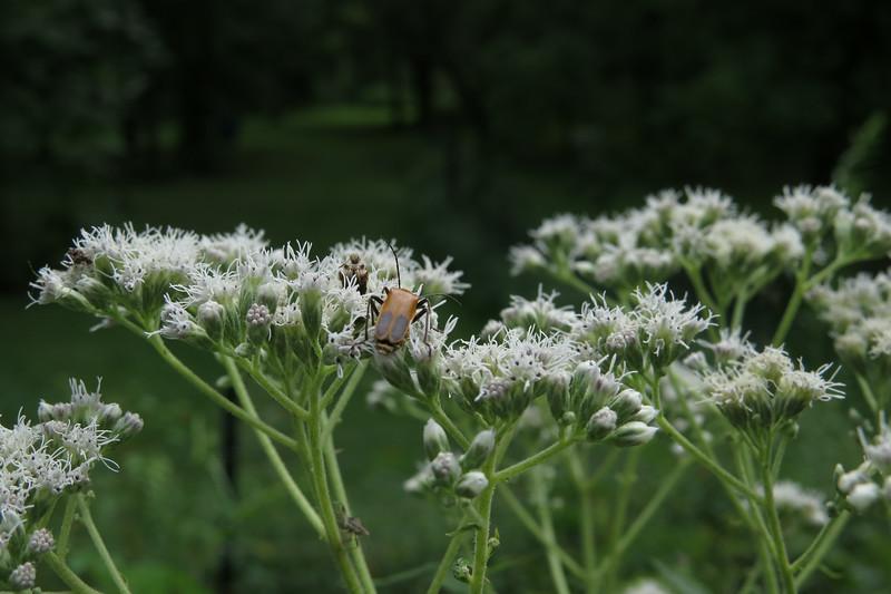 August 20 2014   Beetle pollinator