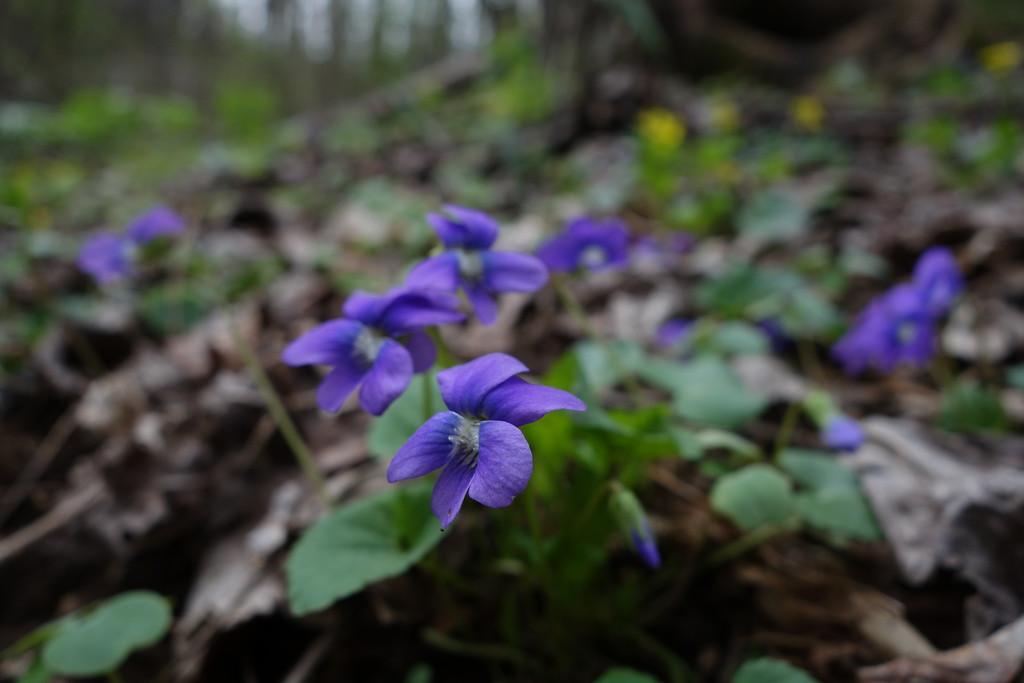 April 9 2015  Carpet of violets