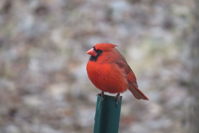 February 8 2014  Red cardinal on a green post