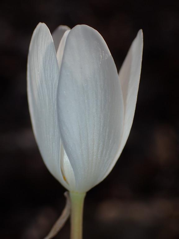 March 29 2015  Backlit bloodroot bloom