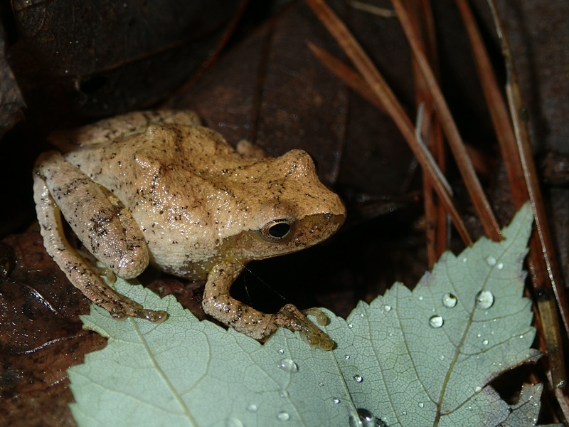 June 23 2014  Spring peeper in summer