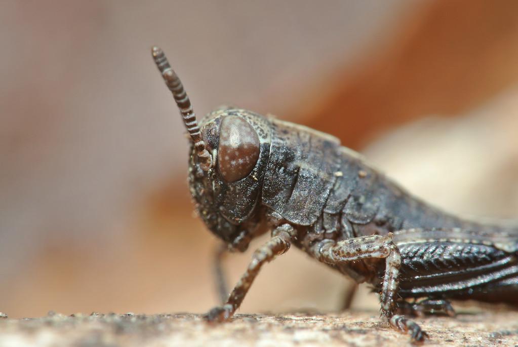March 17 2013   Baby Grasshopper
