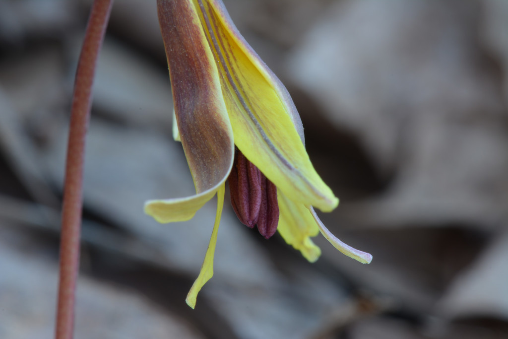 February 25 2013  Trout Lily, First Wildflower of the Year