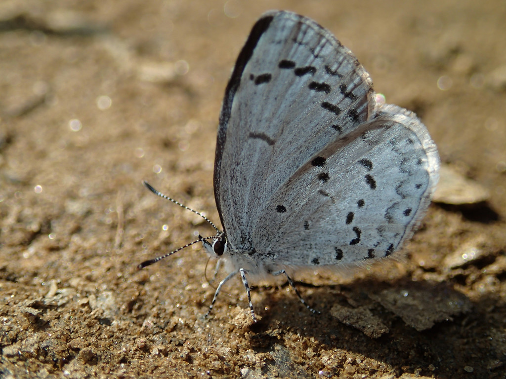 March 11 2014   Spring azure butterfly