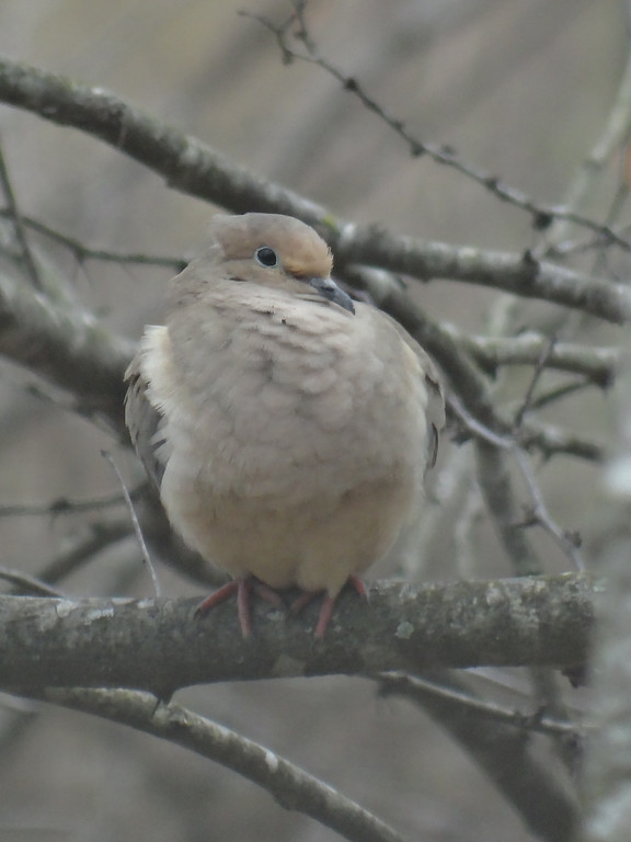 February 11 2013   Mourning dove in early afternoon