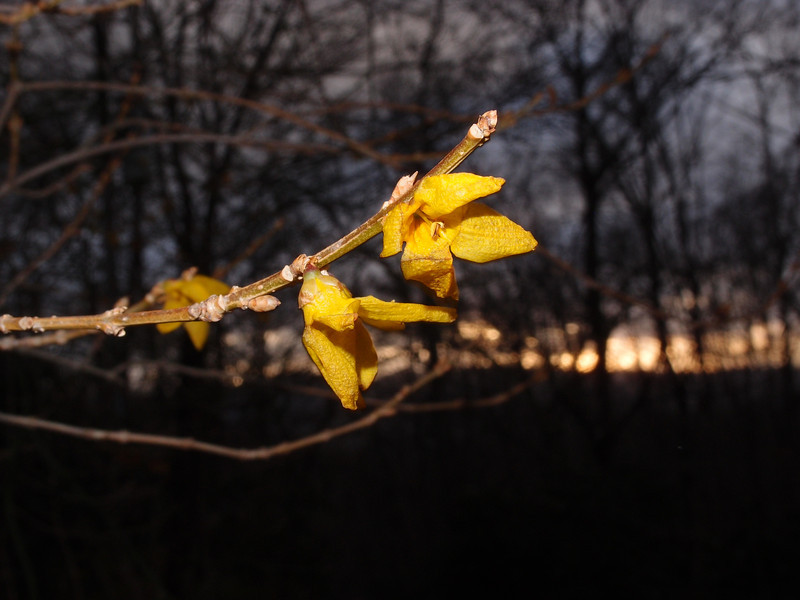 December 21 2012   Winter Forsythia
