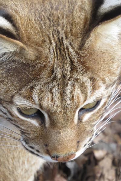 March 1 2014   Bobcat stare