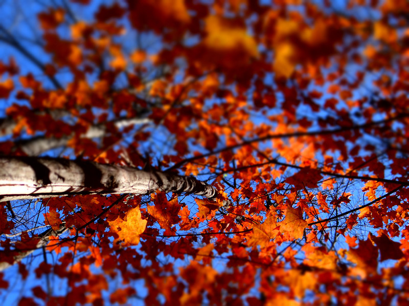 October 25 2012    Falling Maple Leaves