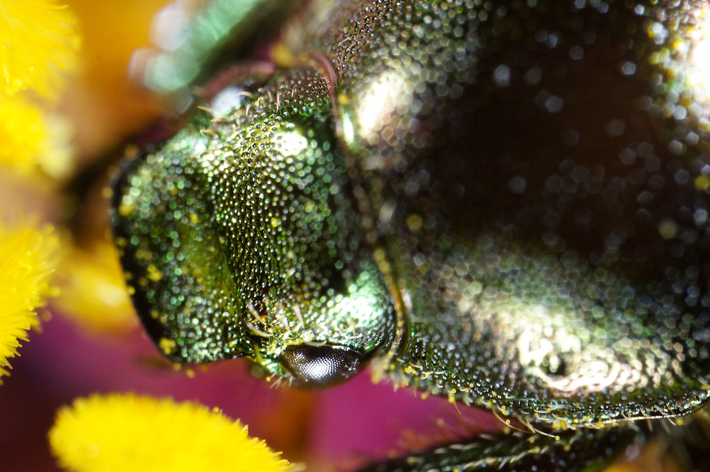 August 4 2013   Japanese Beetle