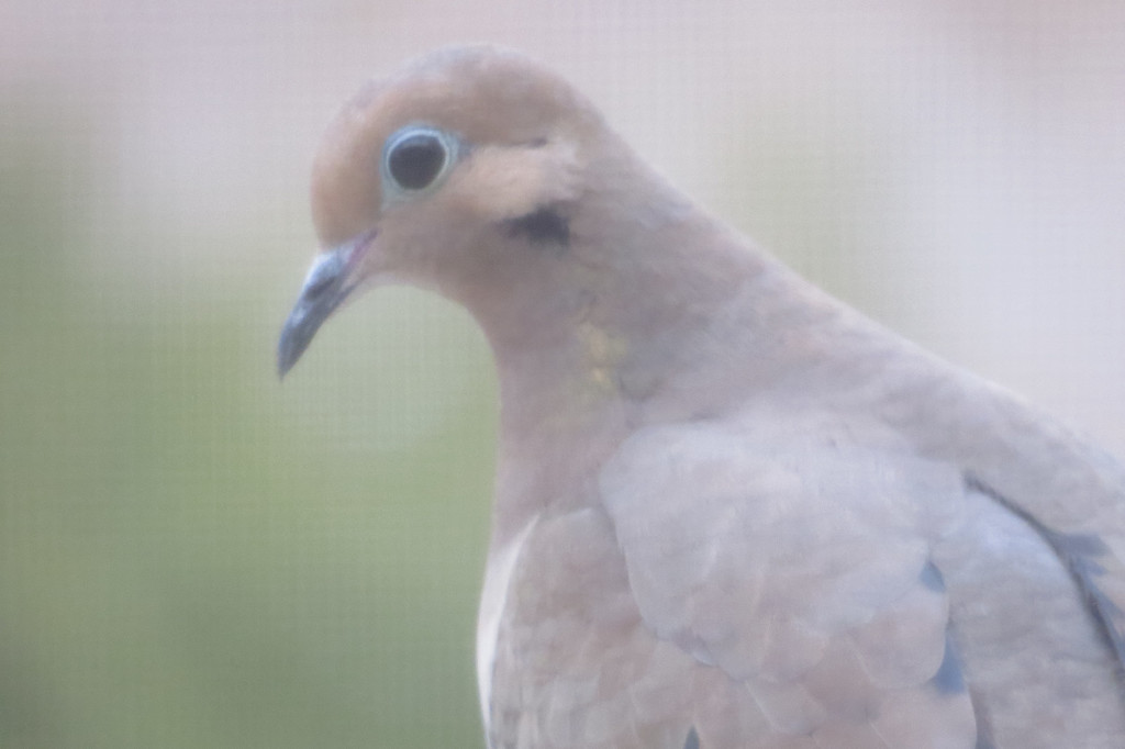 February 9 2014   Pensive mourning dove