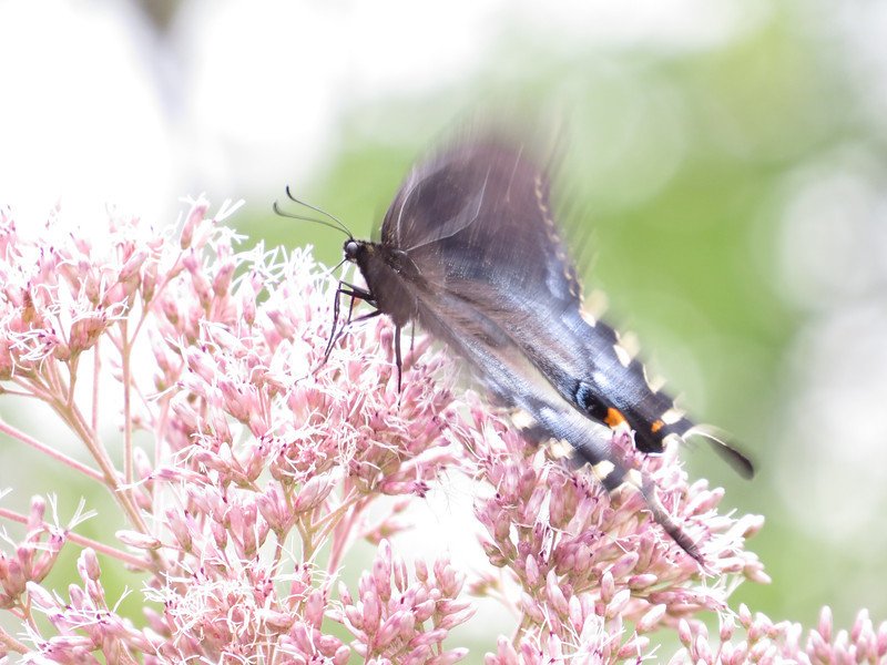 August 12 2013    Swallowtail in Motion