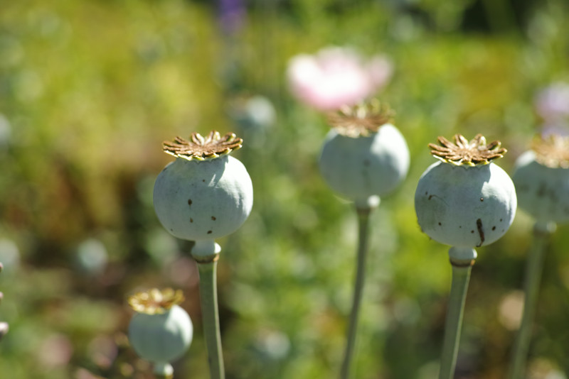 June 2 2014   Poppy seed heads