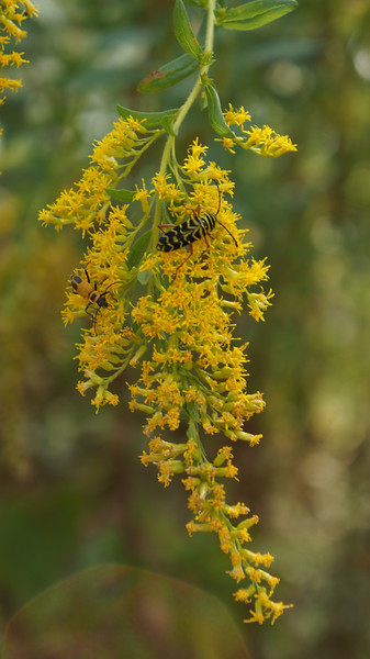 October 3 2011  Golden bugs on goldenrod