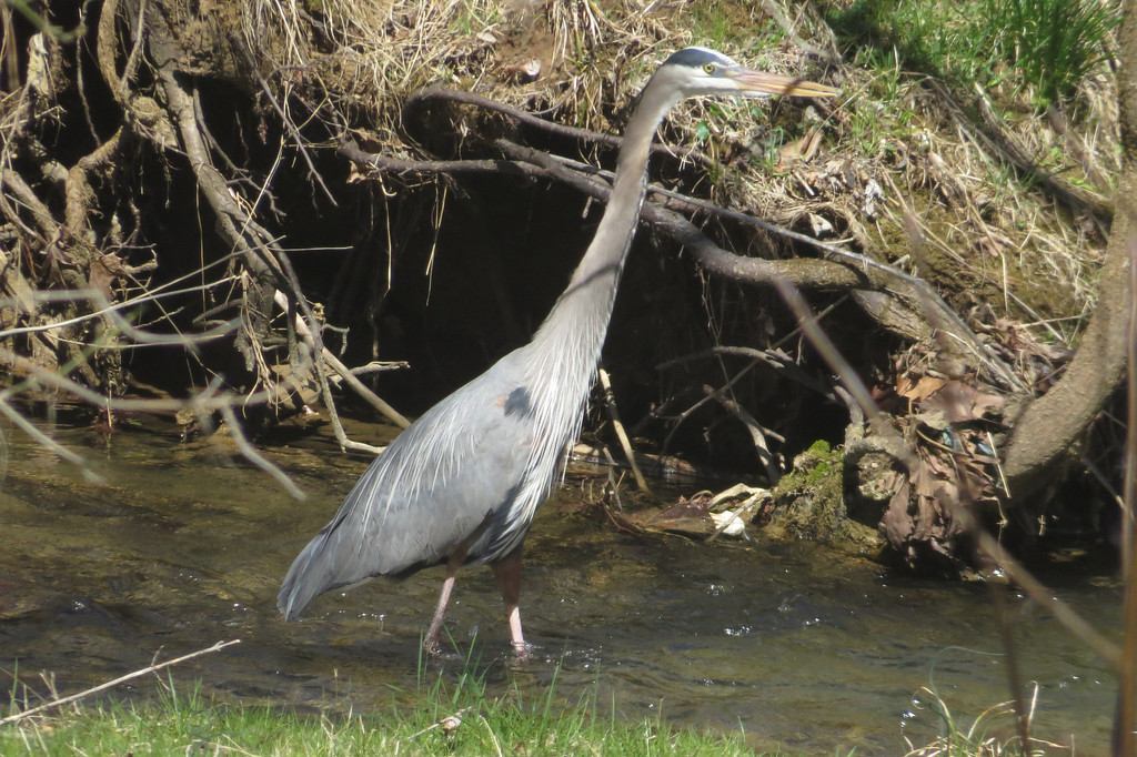 March 31 2014  Great blue heron stalking the creek