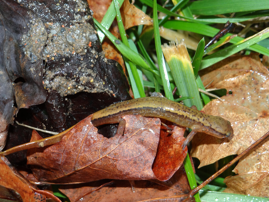January 14 2013   Rainy Day Salamander