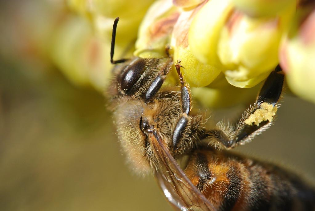 March 9 2013   Pollen Harvest