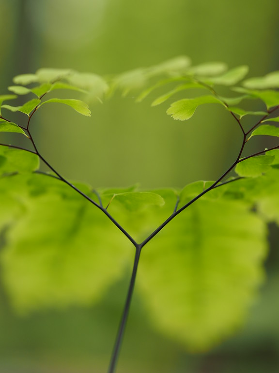 April 29 2015  Maidenhair fern forms a heart