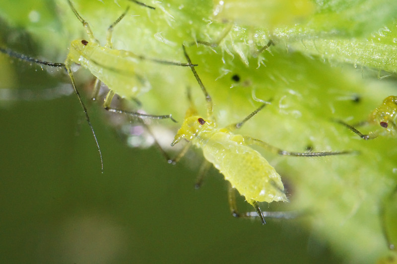 September 7 2013   Aphid party