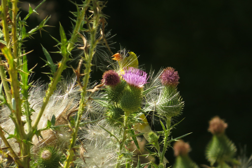 August 5 2014   Goldfinch gathering thistle seeds