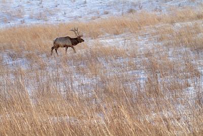 Elk bull Neal Smith National Wildlife Refuge NWR Prairie City IA  IMG_2312