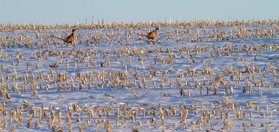 Ring-necked Pheasant Neal Smith National Wildlife Refuge NWR Prairie City IA  IMG_2392