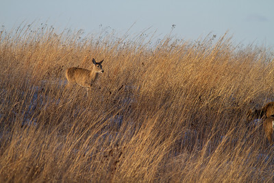 White-tailed Deer Neal Smith National Wildlife Refuge NWR Prairie City IA  IMG_2441