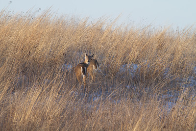 White-tailed Deer Neal Smith National Wildlife Refuge NWR Prairie City IA  IMG_2424
