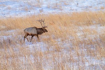 Elk bull Neal Smith National Wildlife Refuge NWR Prairie City IA  IMG_2309