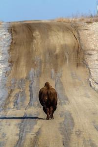 Bison Neal Smith National Wildlife Refuge NWR Prairie City IA  IMG_2330