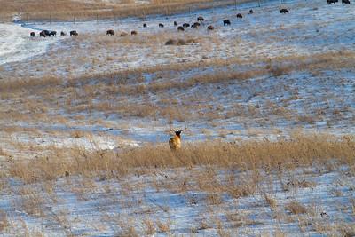 Elk bull and Bison herd Neal Smith National Wildlife Refuge NWR Prairie City IA  IMG_2341