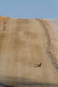 Ring-necked Pheasant Neal Smith National Wildlife Refuge NWR Prairie City IA  IMG_2370
